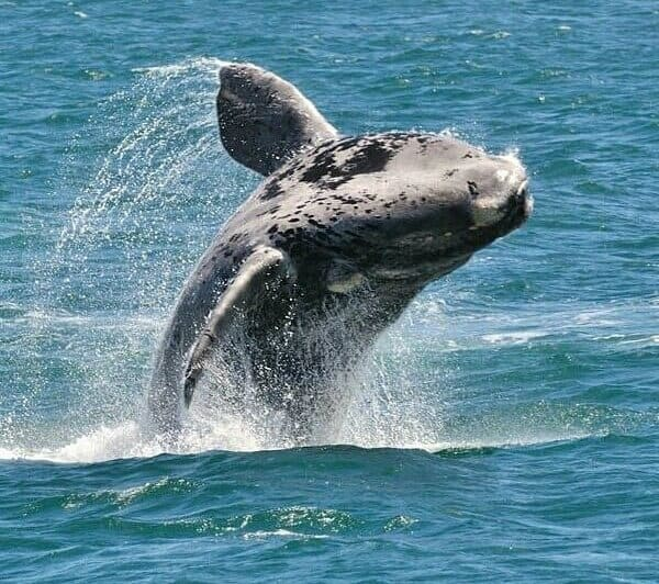 Hermanus_Whale_Watching