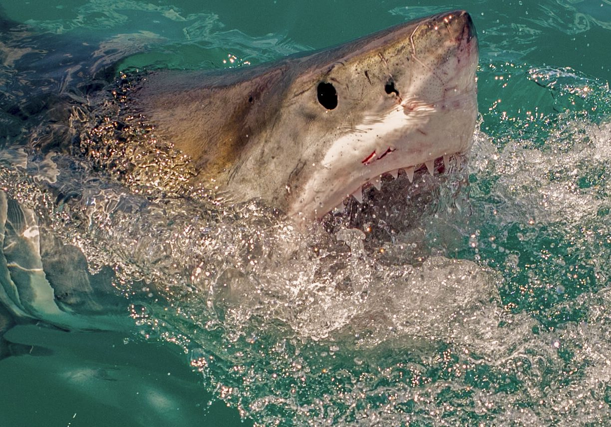 Great_White_Shark_Cage_Diving