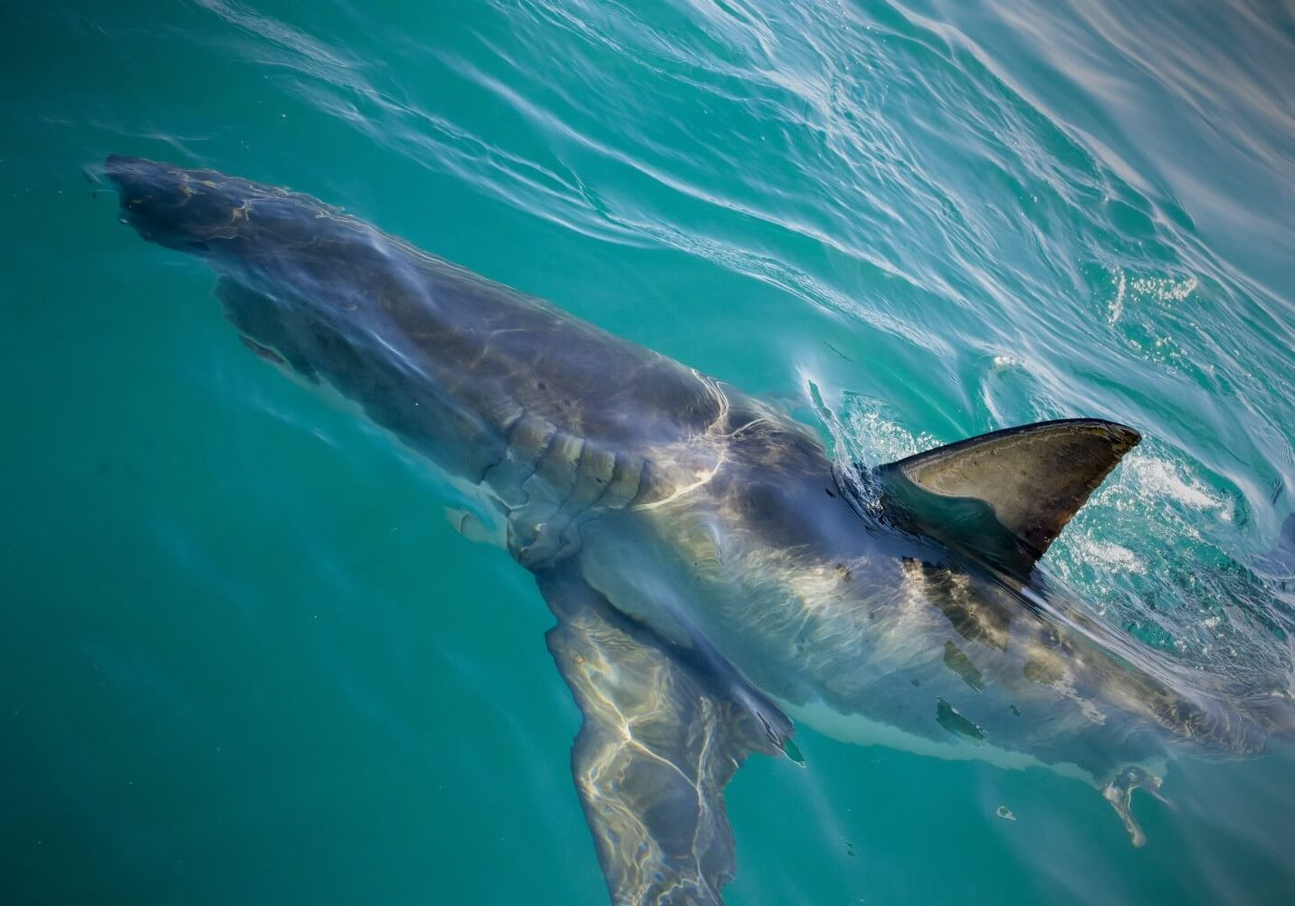 Shark_Cage_Diving_Cape_Town_Trips