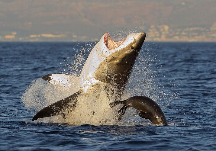 Shark_Cage_Diving_False_Bay