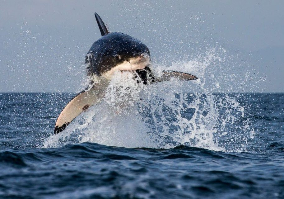 Shark_Cage_Diving_South_Africa