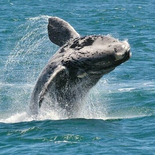 Whale_Watching_Hermanus